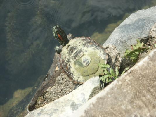 su kaplumbağası