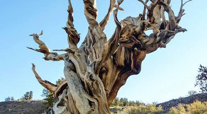 Dünyanın En Yaşlı 2. Ağacı