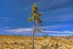 Dünyanın en yaşlı ağacı