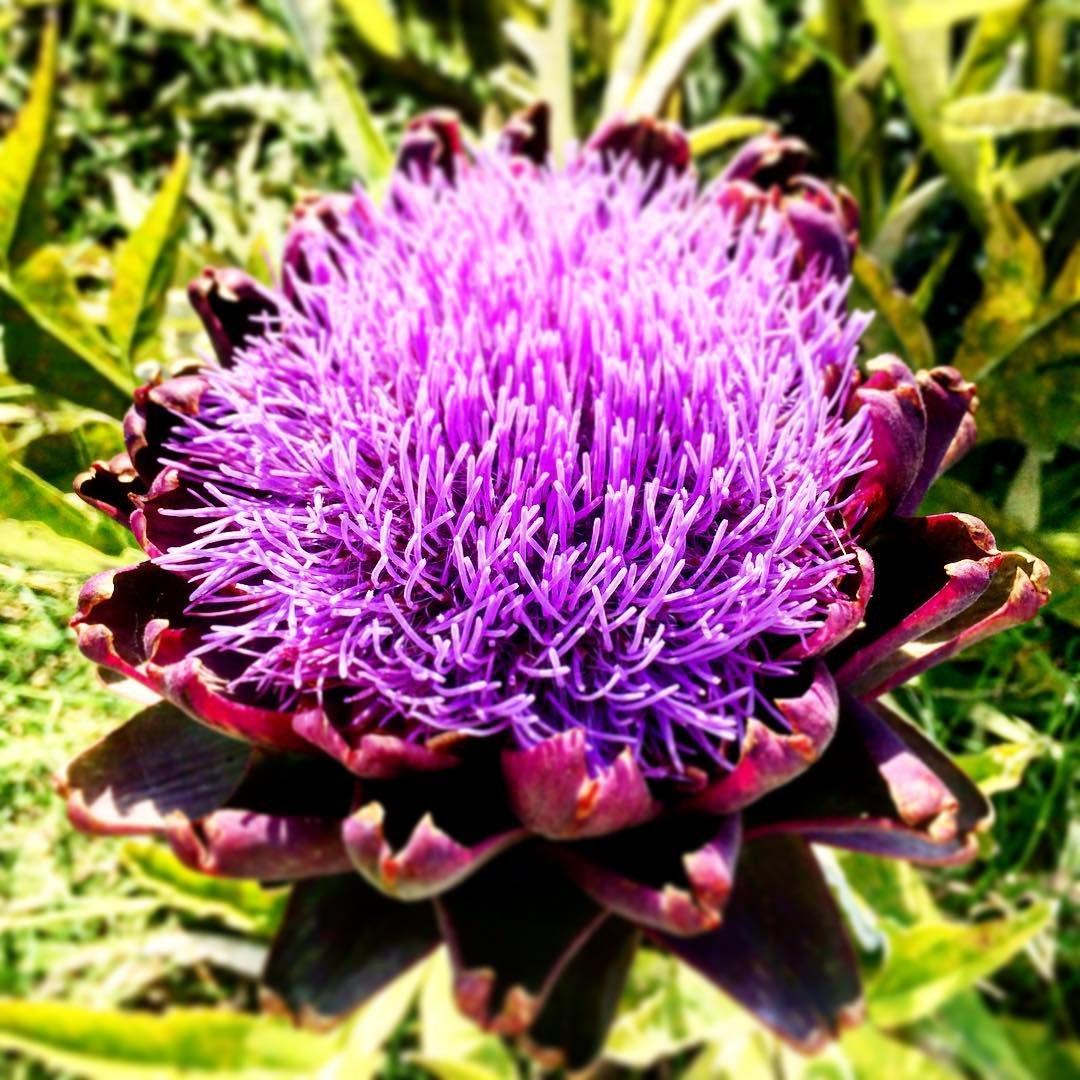 Enginar Çiçeği